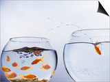 Goldfish Jumping into Different Bowl Posters by Paul Hardy