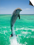 Jumping Bottlenose Dolphin Poster by Stuart Westmorland