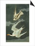 Lesser Tern. Little Tern (Sterna Albifrons), from 'The Birds of America' Affiches par John James Audubon