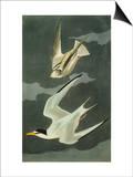 Lesser Tern. Little Tern (Sterna Albifrons), from 'The Birds of America' Affiches par John James Audubon