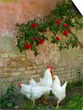White chickens beneath roses Konst av Mark Bolton