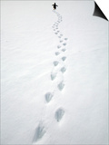 Gentoo Penguin Walking and Leaving Footprints in Snow Posters by John Eastcott & Yva Momatiuk