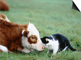 Black and White Cat and Calf Touching Each Other with Heads Prints by Hans Reinhard