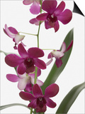 Purple Phalaenopsis orchids Posters by Jen Nelson