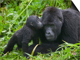 Baby Gorilla Kisses Silverback Male Plakater af Paul Souders