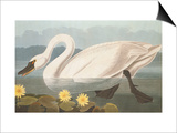 Common American Swan Posters by John James Audubon
