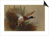 A Mallard Rising from Reeds Posters by Archibald Thorburn