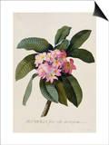 Botanical Print of Frangipani Art by Johann Wilhelm Weinmann