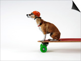 Chihuahua on a Skateboard Poster by Chris Rogers