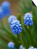 Grape Hyacinth Poster by Clive Nichols