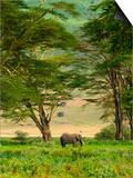African Elephant in Ngorongoro Crater in Ngorongoro Conservation Area Posters by Blaine Harrington