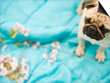 Pug on a Turquoise Blanket Art by Alessandra Schellnegger