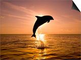 Craig Tuttle - Dolphin Breaching at Sunset - Reprodüksiyon
