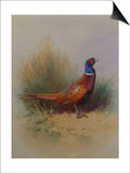 A Cock Pheasant Prints by Archibald Thorburn