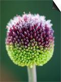Close-Up of Allium Flower Prints by Clive Nichols