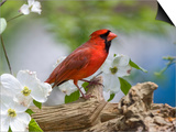 Close-up of Cardinal in Blooming Tree Posters by Gary Carter