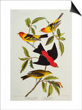 Louisiana & Scarlet Tanager (Tanagra Ludoviciana & Rubra), Plate CCCLIV, from'The Birds of America' Prints by John James Audubon