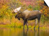 Moose Bull in Pond in Alaska Prints by John Eastcott & Yva Momatiuk