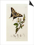 Butterfly and Larvae, from 'British Entomology' Print by John Curtis