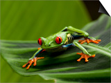 Paul Souders - Tree Frog in Costa Rica - Reprodüksiyon