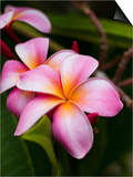Blossoms of Plumeria, or Frangipani, Cultivated for Lei Garlands Posters by Susan Seubert