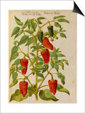Indian Pepper. from 'Camerarius Florilegium' Posters by Joachim Camerarius