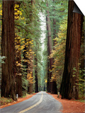 Avenue of the Giants in Autumn Prints by David Muench