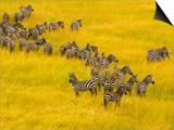 Zebra Herd in Masai Mara National Reserve Art by Blaine Harrington