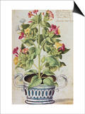 Marvel of Peru, Mirabilis Jalapa, in a Blue and White Pot. from 'Camerarius Florilegium' Prints by Joachim Camerarius