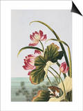 18th Century French Print of Red Water Lily of China Posters by  Stapleton Collection