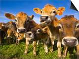 Young Calves in Pasture in New Zealand Prints by John Eastcott & Yva Momatiuk