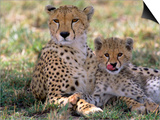 Cheetah Mother and Cub Resting in Shade Together Prints by John Eastcott & Yva Momatiuk