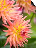 Dahlia 'Karma Sangria' in Bloom Affiches par Mark Bolton
