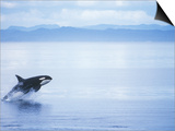 Killer Whale Breaching, British Columbia, Canada. Prints by Jim Borrowman