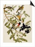 Rose-Breasted Grosbeak (Pheuticus Ludovicianus), Plate Cxxvii, from 'The Birds of America' Prints by John James Audubon