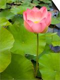 Lotus Bloom Prints by Markus Botzek