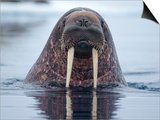 Walrus swimming Prints by Paul Souders