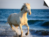 Wild Camargue Horse Running on Beach Prints by Frank Lukasseck