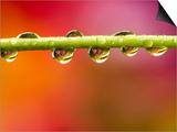 Raindrops on Graden Flower Stem, Canada Prints by Don Johnston