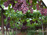 Red table grapes on vine in Basilicata Affiches par Mark Bolton