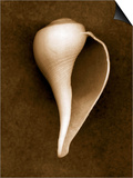 White Conch Shell Poster by John Kuss