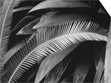 Palms, Bronx Botanical Gardens, 1945 Art by Brett Weston