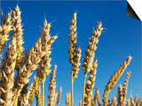 Golden wheat plants Print by Frank Krahmer