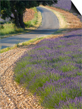 Lavender field and winding road Print by Doug Pearson