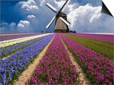 Windmill and Flower Field in Holland Poster by Jim Zuckerman