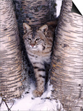 Bobcat in the snow in Montana Poster by Charles Krebs