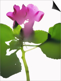 Purple Impatiens Posters by  Envision