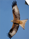 Red Kite in Flight Posters par Andrew Parkinson