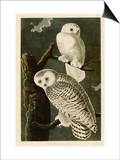 Snowy Owl Posters by John James Audubon