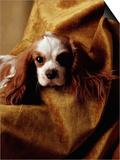 Cavalier King Charles Spaniel Poster by Alen MacWeeney